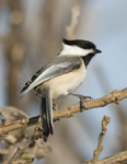 Chickadees Nuthatches Titmice