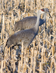 Cranes, Egrets, and Herons