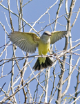 Kingbirds and Waxwings
