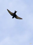 Larks, Martins, Swifts